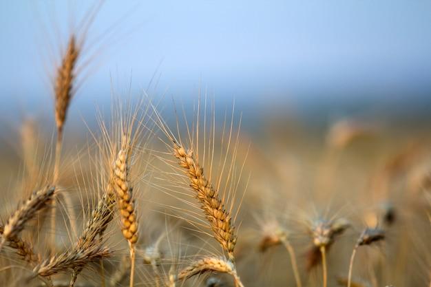 Primer plano de cabezas de trigo maduras de color amarillo dorado cálido cálido en día soleado de verano