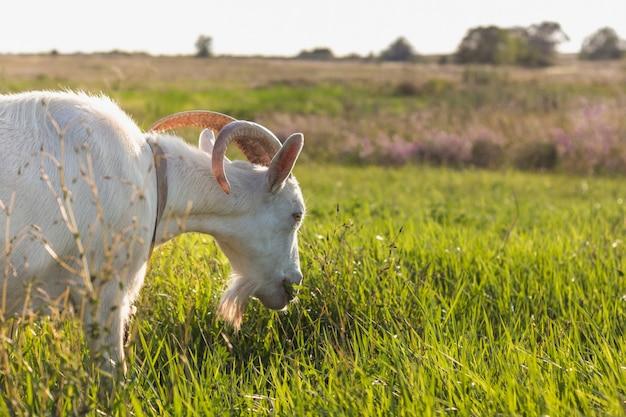 Primer plano de cabra blanca comiendo hierba