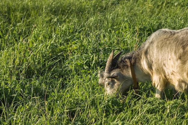 Primer plano de cabra doméstica comiendo en la granja