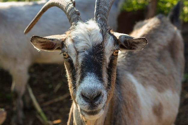 Primer plano de cabra en la granja mirando a la cámara