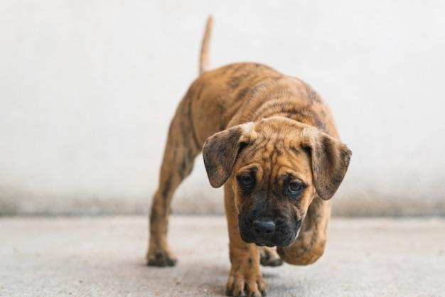 Primer plano de un cachorro alano español caminando delante de una pared blanca