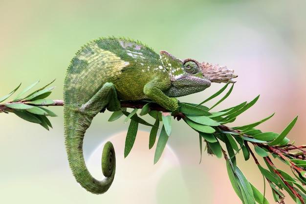 Primer plano de camaleón fischer en árbol