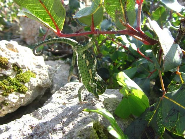 Primer plano de un camaleón verde del mediterráneo en malta
