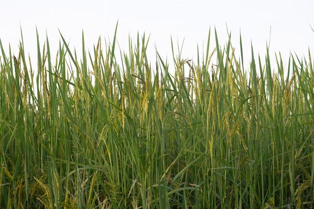 Primer plano del campo de arroz