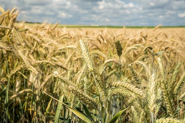 Primer plano del campo de grano de cebada durante el día