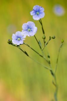 Primer plano de campo de lino azul en primavera poca profundidad de campo