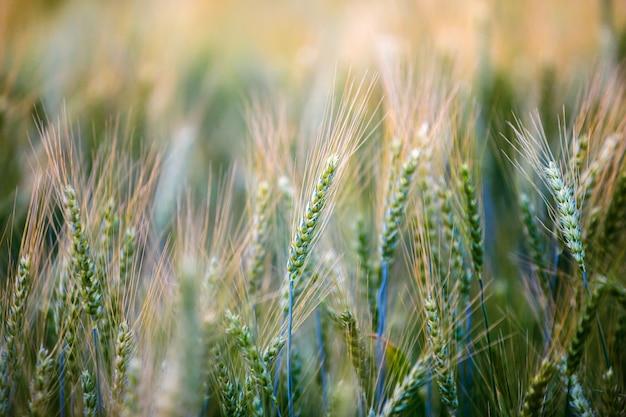 Primer plano campo de trigo verde maduro