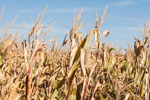 Primer plano de campo de trigo