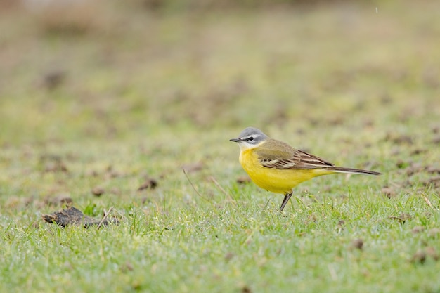 Primer plano de un canario doméstico amarillo sobre un campo verde