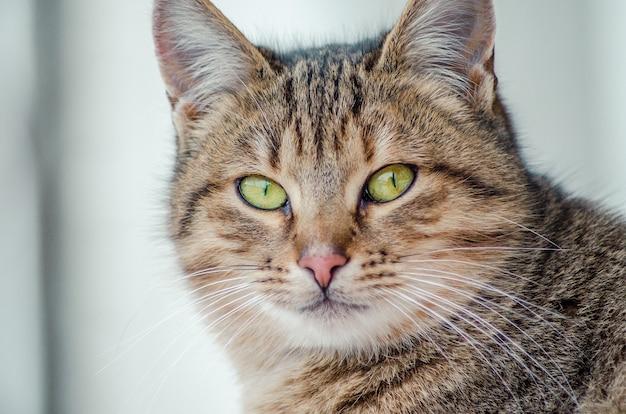 Primer plano de la cara de un hermoso gato con ojos verdes
