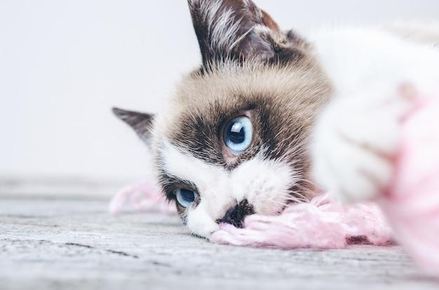 Primer plano de la cara marrón y blanca de un lindo gato de ojos azules acostado sobre hilos de lana