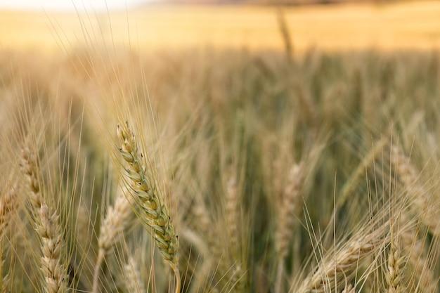 Primer plano de cebada en el campo con día soleado. hermosa naturaleza y aire fresco.
