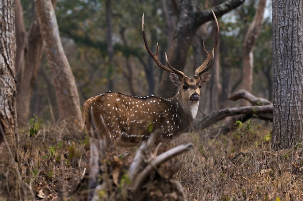 Primer plano de chital en el parque nacional mudumalai en india