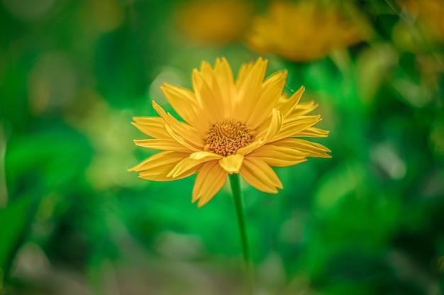 Primer plano de chrysanths amarillo