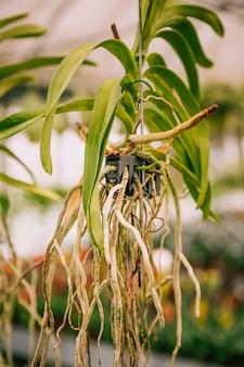 Primer plano de colgar la planta en maceta con raíces