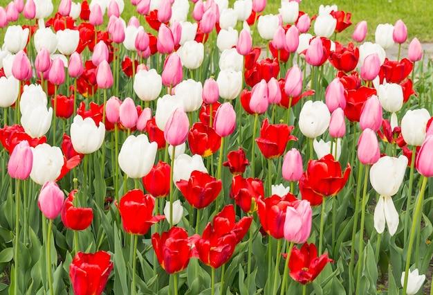 Primer plano de coloridos tulipanes en un jardín bajo la luz del sol