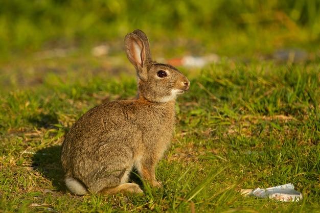 Primer plano de conejo europeo en la pradera