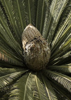 Primer plano de un cono de una planta de cícadas en un parque
