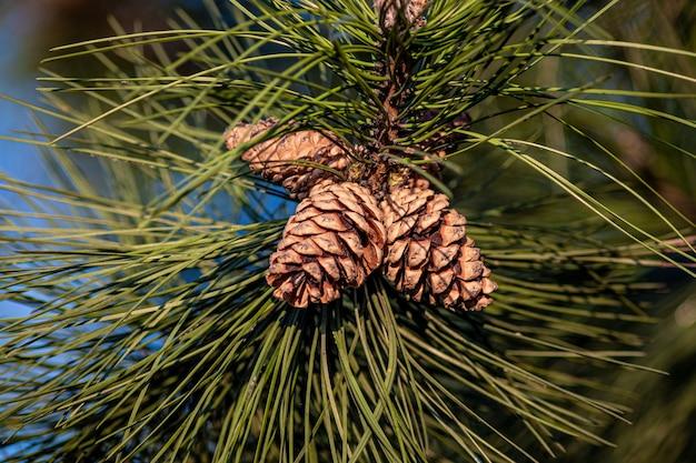 Primer plano de conos de pino colgando del árbol