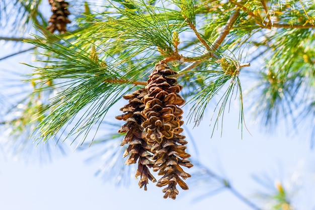 Primer plano de conos de pino en las ramas bajo la luz del sol con un borroso