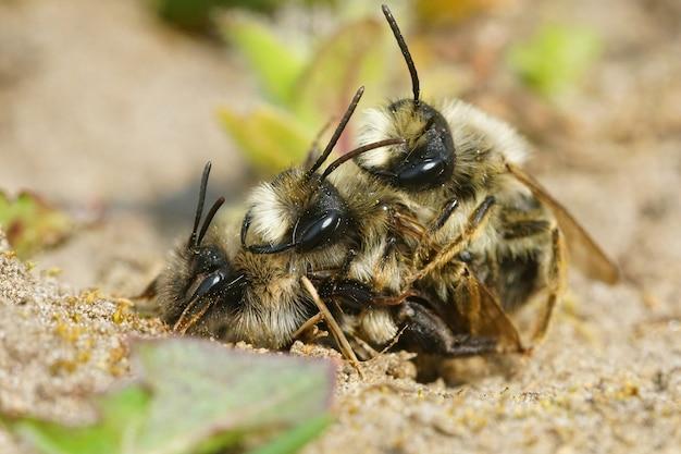 Primer plano de la cópula de dos machos y una hembra de abejas mineras de espalda gris
