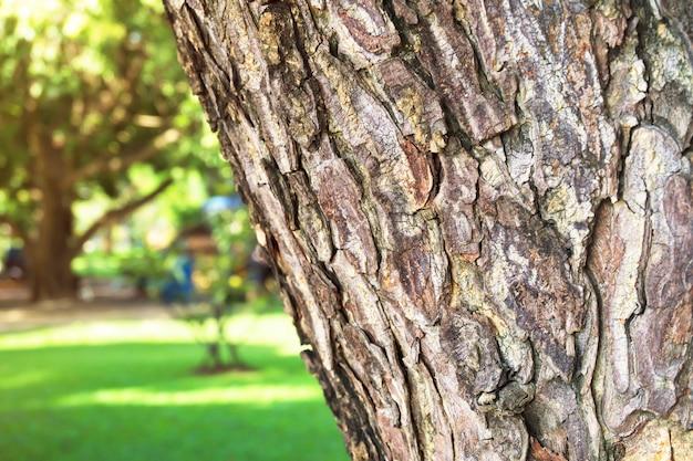 Primer plano de la corteza del árbol de lluvia (samanea saman) con luz solar y césped.