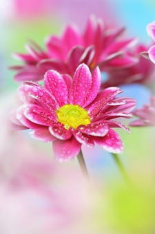 Primer plano de crisantemo