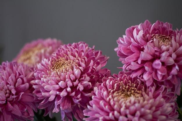 Primer plano de crisantemos rosados en el interior, otoño bodegón, enfoque selectivo