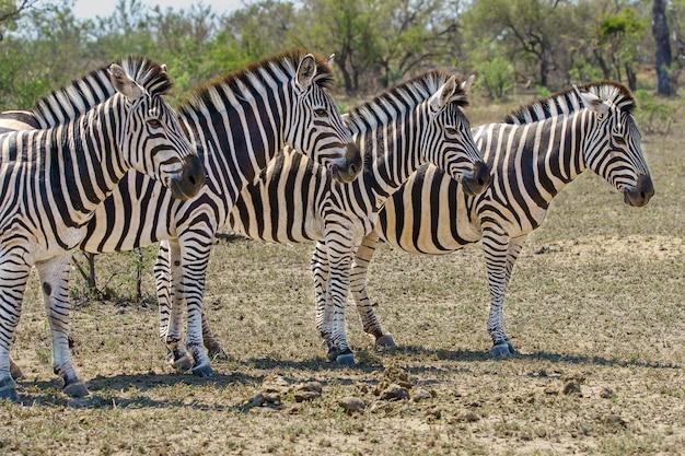 Primer plano de cuatro cebras adultas parados juntos en el safari