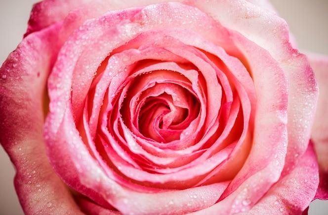 Primer plano de flor rosa rosa
