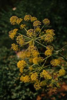 Primer plano de flores amarillas de eneldo
