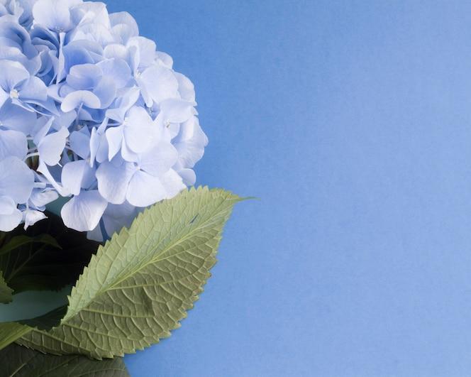 Primer plano de flores de hortensias sobre fondo azul en blanco