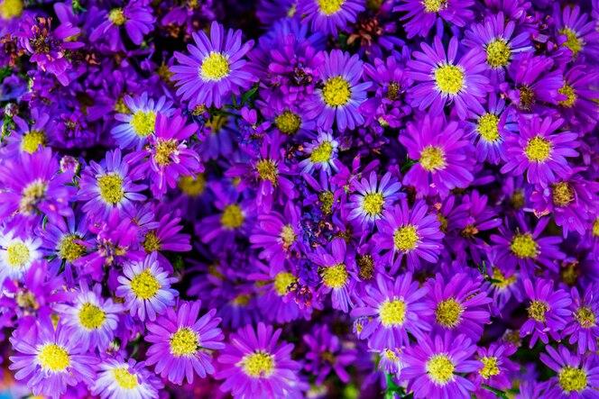 Primer plano de fondo con textura de margarita púrpura