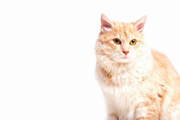 Primer plano de gato atigrado mirando lejos sobre fondo blanco