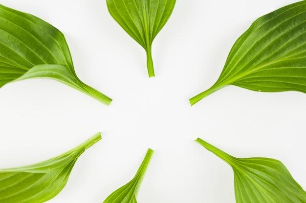 Primer plano de hojas verdes tallo sobre fondo blanco