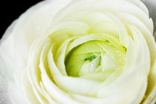 Primer plano de la floración rosa blanca