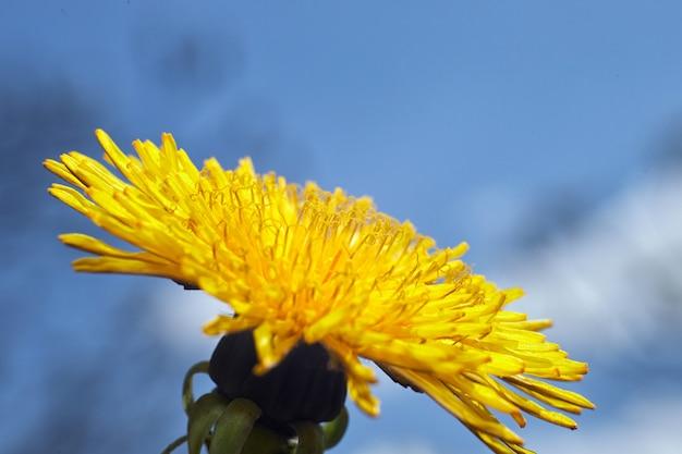 Primer plano de diente de león, contra el cielo azul, con poca profundidad de campo