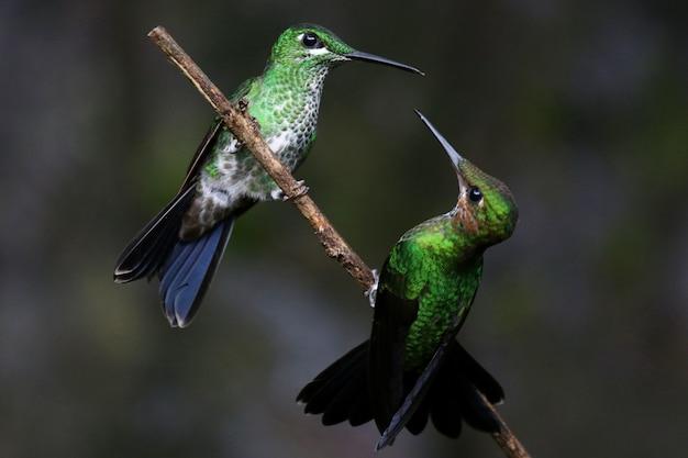 Primer plano de dos colibríes interactuando en una ramita