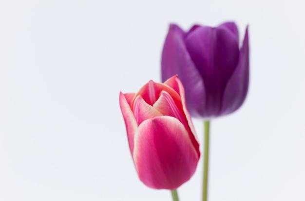 Primer plano de dos coloridas flores de tulipán aislado sobre fondo blanco con espacio para el texto