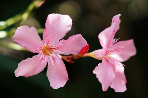 Primer plano de dos flores de adelfa rosa bajo la luz del sol con un fondo borroso