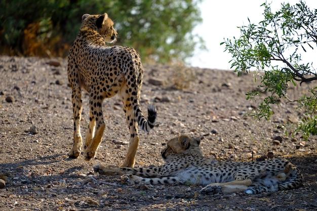 Primer plano de dos guepardos en el safari con árboles