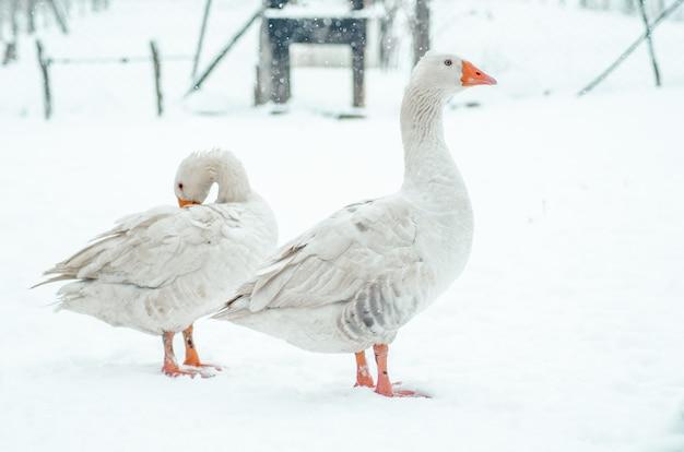 Primer plano de dos lindos gansos de pie en el suelo cubierto de nieve fuera