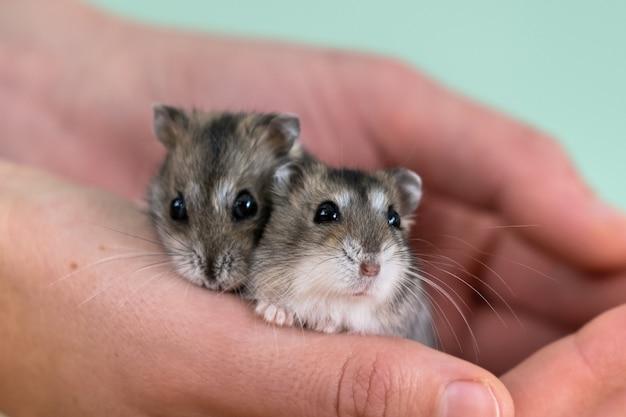 Primer plano de dos pequeños divertidos hámsters jungar miniatura sentado en las manos de una mujer. mullidas y lindas ratas dzhungar en casa.