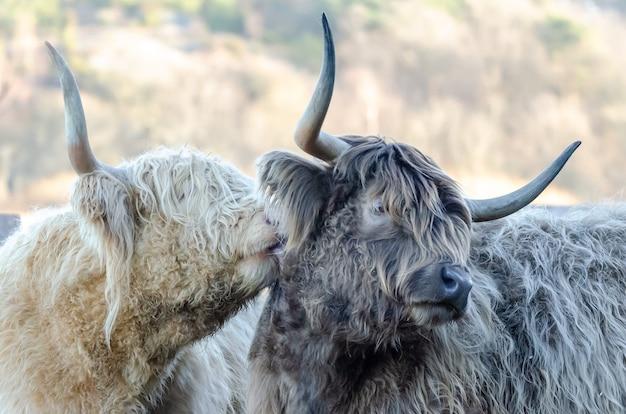 Primer plano de dos yaks peludos