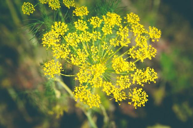 Primer plano, eneldo sobre fondo borroso, cosecha y olor fresco de vegetación.