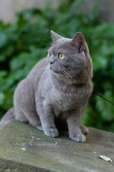 Primer plano de enfoque selectivo vertical de un gato gris de pelo corto británico