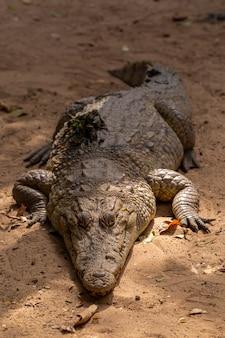 Primer plano de un enorme cocodrilo arrastrándose por el suelo en senegal