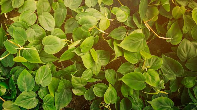 Primer plano de la enredadera con hojas verdes frescas