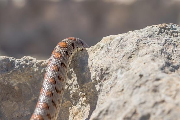 Primer plano de las escamas de una serpiente leopardo adulta o europea ratsnake, zamenis situla, en malta