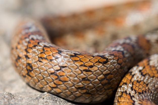 Primer plano de las escamas de una serpiente leopardo adulta